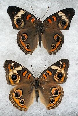 Insect/Butterfly/ The Buckeye - Pair