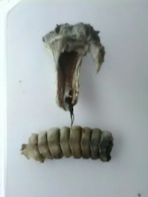 rattlesnake rattle and head with rare 3 fangs.