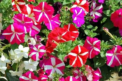 Fairy Flower Seed Petunia Pendula Mixed seed approx x200 Bedding Basket Plant