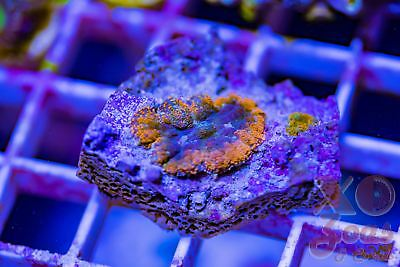 XO Rainbow Ring Of Fire Ultra Rhodactis Mushroom Coral Bullseye Shroom Frag High