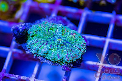 Neon Green and Pink Ricordea Yuma Mushroom A Coral Shroom Frag High End Corallim