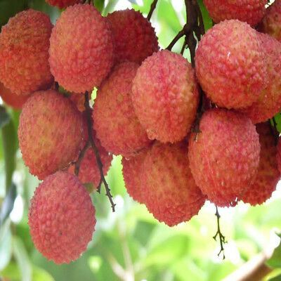 10Pcs Lychee Fruit Seed Delicious Lychee Succulent Seeds Tree Home Garden Decor