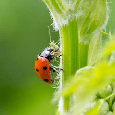 Dragonfli Ladybirds Adults - Live Ladybird Control Aphids Greenfly & Blackfly