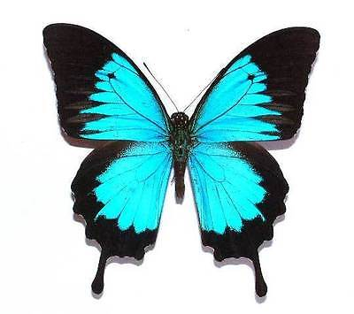 PAPILIO ULYSSES AUTOLYCUS - unmounted butterfly