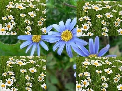 Roman or German Chamomile Essential Oil 100% .Uncut or diluted.5-10% off