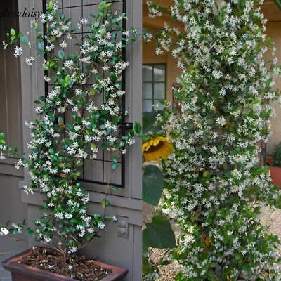20Pcs Home Gardening Decoration Climbing Plants Jasmine Flower Seeds S5DY
