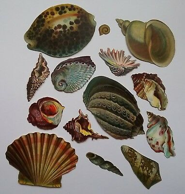 A good selection of 14 Victorian Seashell Scraps Largest 7x5cms, smallest 1x1cms