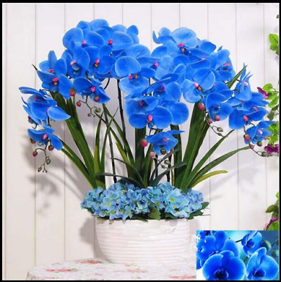 100 Pcs Bag blue Orhid Seeds Phalaenopsis Orchid Bonsai Flower Seeds Orhid Pot F