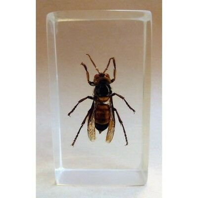 """REAL INSECT - INSETTO SOTTO RESINA """"CALABRONE"""" ASIAN HORNET PAPERWEIGHT 4x7 Cm"""