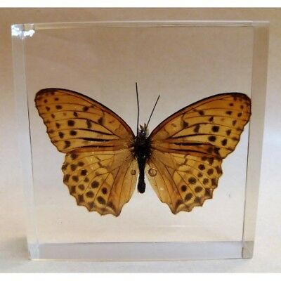"""REAL INSECT - INSETTO SOTTO RESINA """"FARFALLA"""" R.4 BUTTERFLY PAPERWEIGHT  7x7 Cm"""