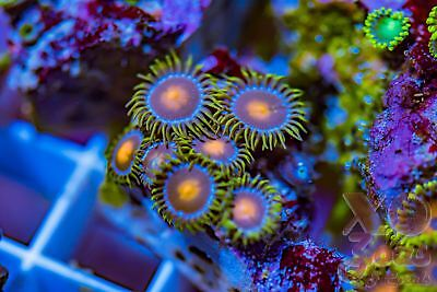 Hawaiian Sunset Zoas Zoanthids 7 Polyp Frag Mini Colony Soft Marine Coral Zoanth