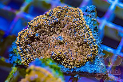 Superman Rhodactis Ultra Mushroom Coral Shroom Frag High End Corallimorph