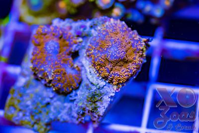 Superman Returns Rhodactis Ultra Mushroom Coral Shroom Frag B High End Corallimo