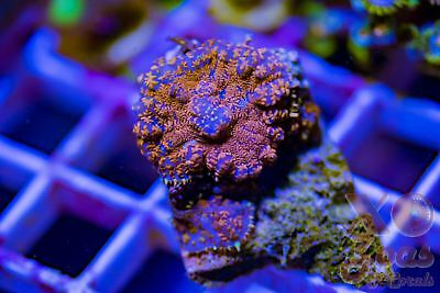 Superman Returns Rhodactis Ultra Mushroom Coral Shroom Frag High End Corallimorp
