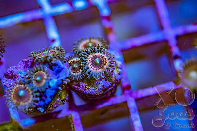 XO Poison Candy Zoas Zoanthids 3 Polyp Frag Mini Colony Soft Marine Coral Zoanth