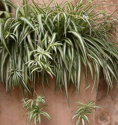 2 Spider Plants -- Clear Air ~ Indoor or outdoor~FREE POSTAGE