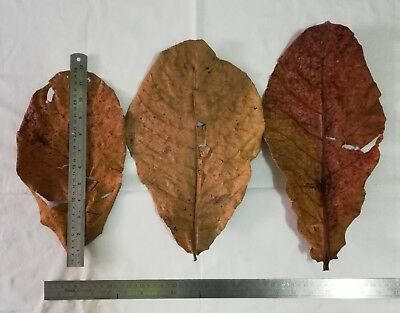 100pc of 12-15in. Extra Large Size Indian Almond Leaf (Catappa/Ketapang)THAILAND