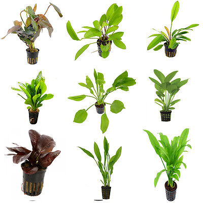 Echinodorus Mix - Nursery Choice (S / M / L Sizes, Total 20 x 5 cm Pots)