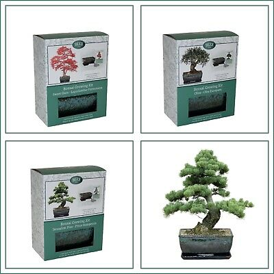 Bonsai Tree Grow Your Own Kit Gift, Pine, Olive, Gum incl Traditional Glazed Pot
