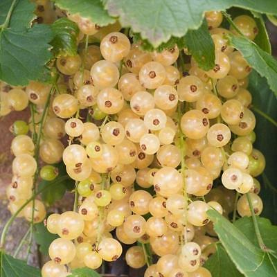 Pack x6 Ribes Rubrum Whitecurrant 'White Versailles' LARGE Plug Plants