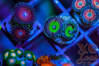 Doomsday Rainbow Palys Palythoa Zoas Zoanthids 2p Coral Frag Marine High End Sof