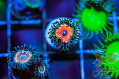 Grizelda Palys Palythoa Zoas Zoanthids 1p Coral Frag Marine Ultra High End Soft