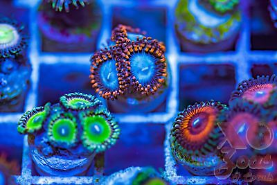 OG Superman Palys Palythoa Zoas Zoanthids 4p Coral Frag Marine Ultra High End So