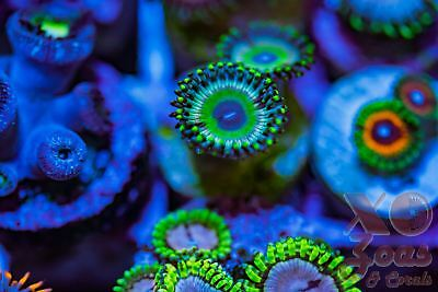 Zing Zing Palys Zoas Zoanthids 2 Polyp Soft Coral Frag Plug Marine High End Paly