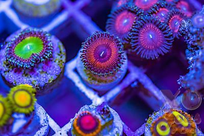 Hellacious Palys Palythoa Zoas Zoanthids 1p Coral Frag Marine High End Soft