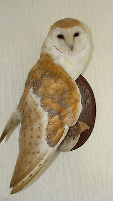 BARN OWL tyto alba  ONE WING PART OPEN  ON WALL A10 CERTIFCATE