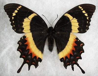 Insect/Butterfly/ Papilio garamas electryon - Female