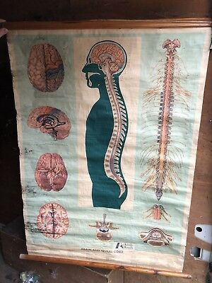 Frohse Anatomical Chart - The Brain And Spinal Cord - Slight Water Damage
