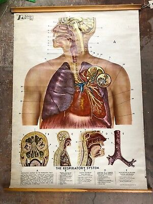 Frohse Anatomical Chart - The Respiratory System - Slight Water Damage