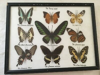 """Framed 12 7/8"""" Brookana, Zigzag Flat, Common Rose, Lime Butterfly, 9 Specimens"""