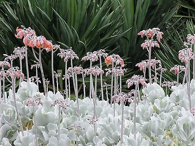Succulent Cotyledon orbiculata SILVER WAVES -white foliage -20 plant cuttings