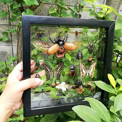 Real Five Horned Beetle Mix Insect Butterfly Taxidermy Glass Mounted Framed