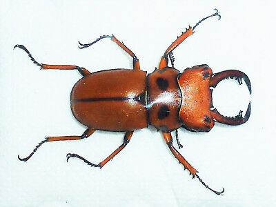 Homoderus Mellyi Male Very Big!!! 38Mm+ Amazing!!! Lucanidae Cameroon