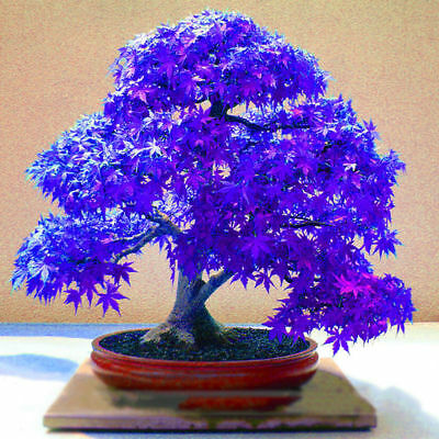 100Pcs Rare Blue Maple Seeds Maple Seeds Bonsai Tree Plants Potted New