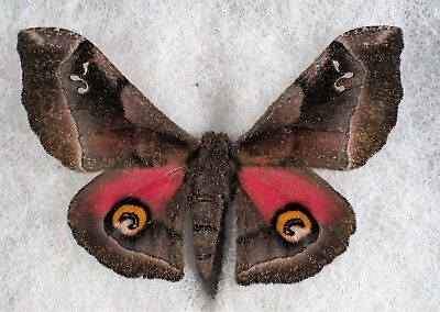 """Insect/Moth/ Moth ssp. - Female 2.5"""""""