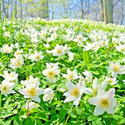 ENGLISH WOOD ANEMONE BULBS | Nemorosa | IN THE GREEN | Plant With Snowdrops