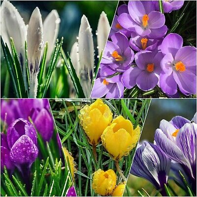 Crocus Bulbs In The Green Large Flowering | Mixed Colours Available