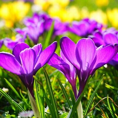 100 CROCUS BULBS | IN THE GREEN | Remembrance Purple | Large Spring Flowering