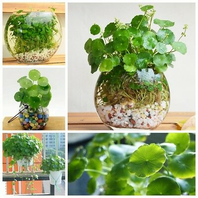 50-200x Hydrocotyle vulgaris Pilea Seeds Green Water/Soil Plant High Germination