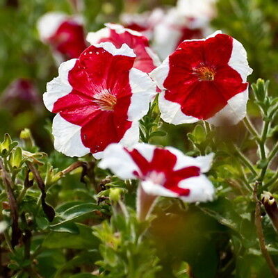 30pcs Colored Skirt Petunia Seeds Petunia Hybrida Original Packaging Flower Seed