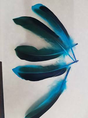5 x 2 tone duck feathers lake blue and black  10cm to 15 cm