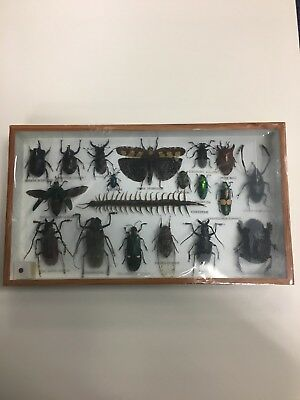 taxidermy beetles and centipede