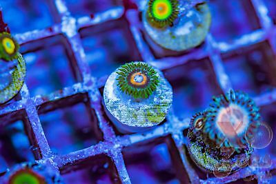 Double Decker Zoas Zoanthids 1p Coral Frag Marine Soft High End Ultra