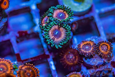 Pink Stink Zoas Palys Zoanthids 3 Polyp Coral Frag Marine High End Soft Palythoa