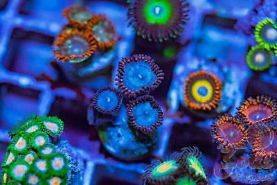 Spiderman Palys Palythoa Zoas Zoanthids 4p Coral Frag Marine Ultra High End Soft