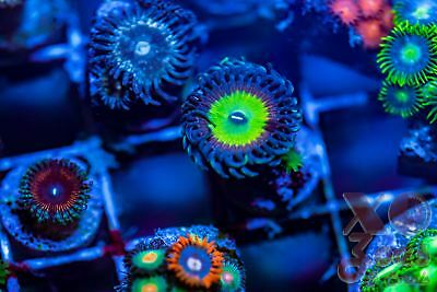 Candy Apple Rainbow Palys Palythoa Zoas Zoanthids 1 Polyp Coral Frag Marine High